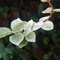 Photos: 白い葉(9月12日)
