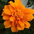 橙マリーゴールド(9月16日)