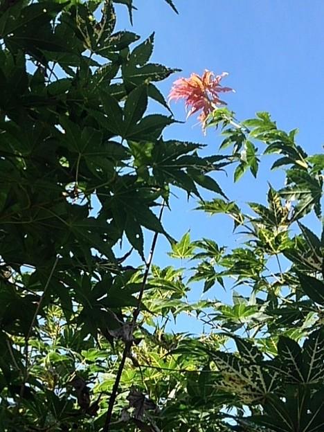 庭の少しだけ赤いモミジ(9月19日)
