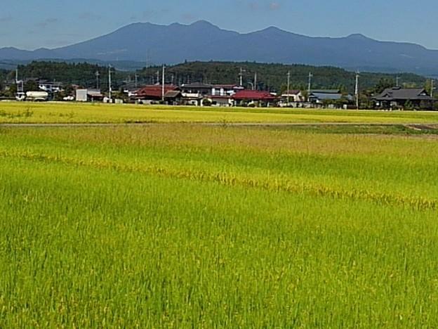黄金色の稲穂の奥に山(9月22日)