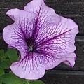 紫ペチュニア(9月26日)