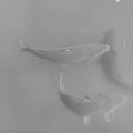 烏ヶ森公園の池の鯉・モノクロVer.(10月3日)
