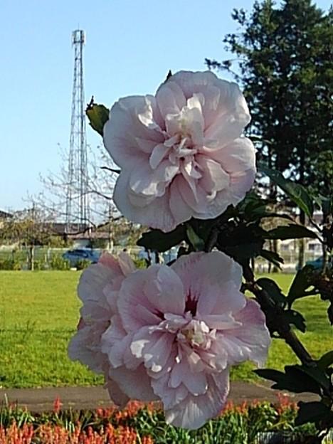 烏ヶ森公園の白い花と鉄塔(10月3日)