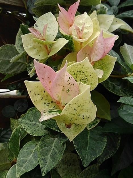 白とピンクの葉(9月27日)
