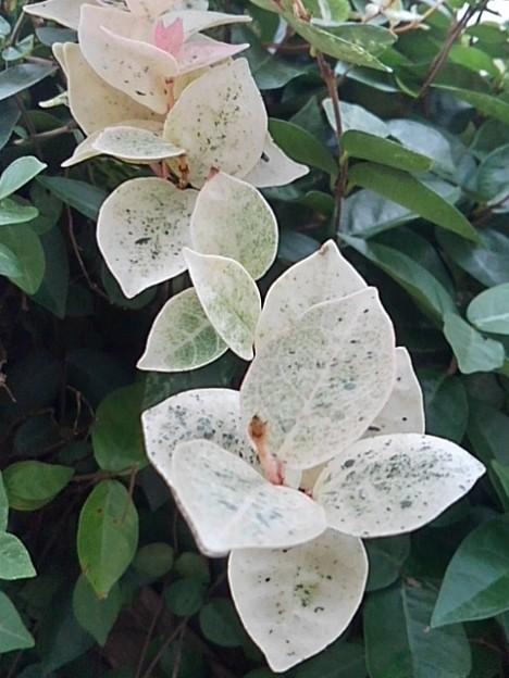 白と緑の葉(9月27日)