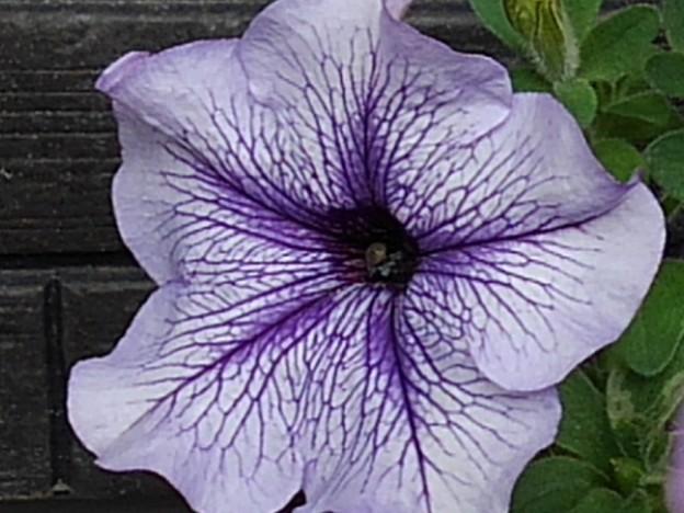 薄紫ペチュニア(9月26日)