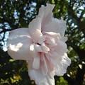 烏ヶ森公園の白い花(10月3日)