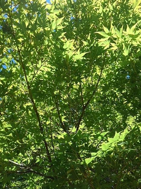長峰公園の道沿いのモミジの天井(9月19日)