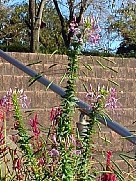 公園のドラゴンっぽい花(9月19日)
