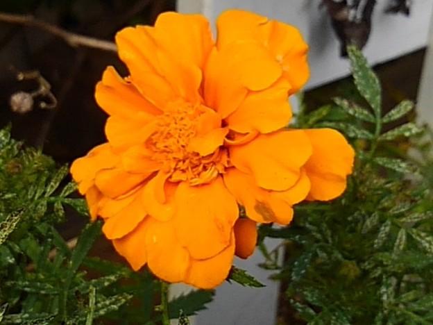 橙マリーゴールド(10月5日)