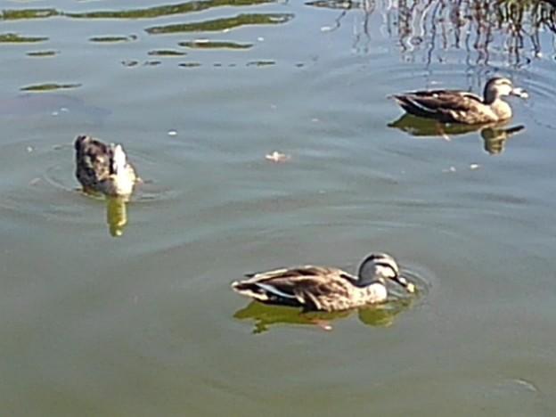 烏ヶ森公園の池のカモ3羽(10月3日)