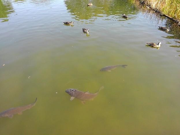 烏ヶ森公園の池の生き物の群れ(10月3日)