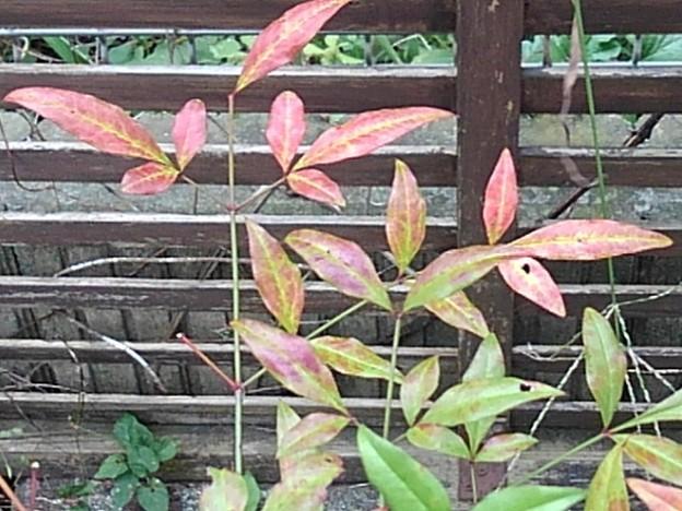 鉢植えの葉(10月9日)