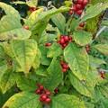 赤い実のなる木(10月9日)
