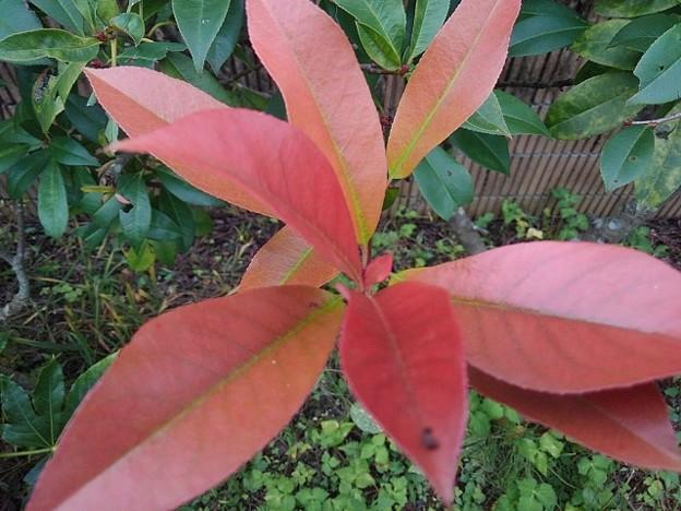 赤い葉(10月9日)