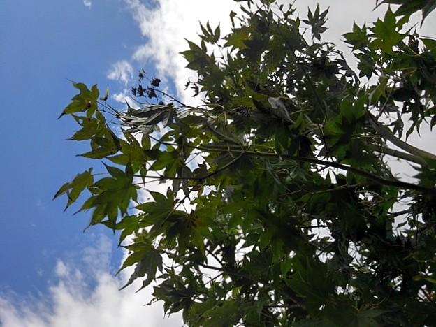 風に揺れる庭のモミジ(10月6日)