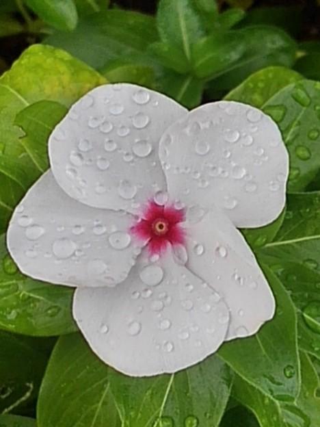 矢板駅の花壇の花・白(10月8日)