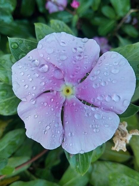 矢板駅の花壇の花・ピンク(10月8日)