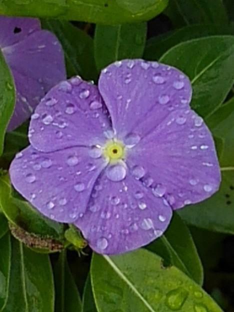矢板駅の花壇の花・紫(10月8日)