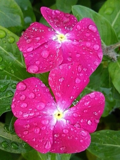 矢板駅の花壇の花・赤紫(10月8日)