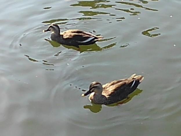 烏ヶ森公園の池のカモ2羽(10月3日)