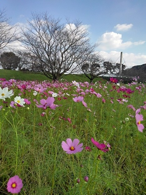 ゆうゆうパークのコスモス畑(10月15日)