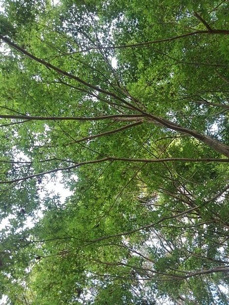ゆうゆうパークの丘で見られた緑の天井(10月15日)