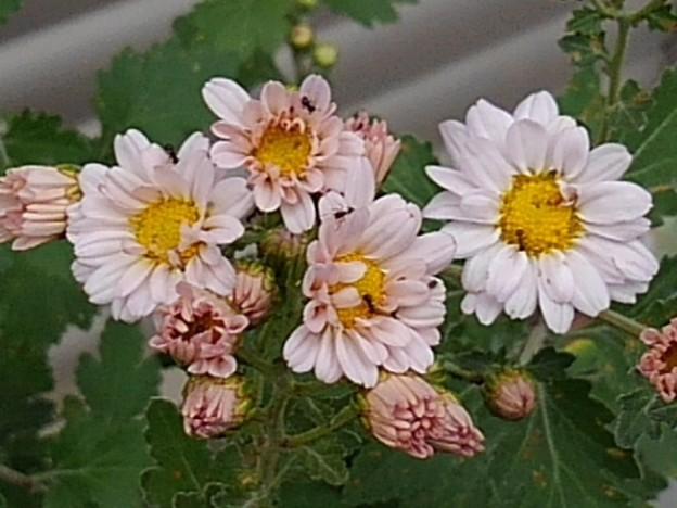 庭の薄いピンクの菊(10月19日)