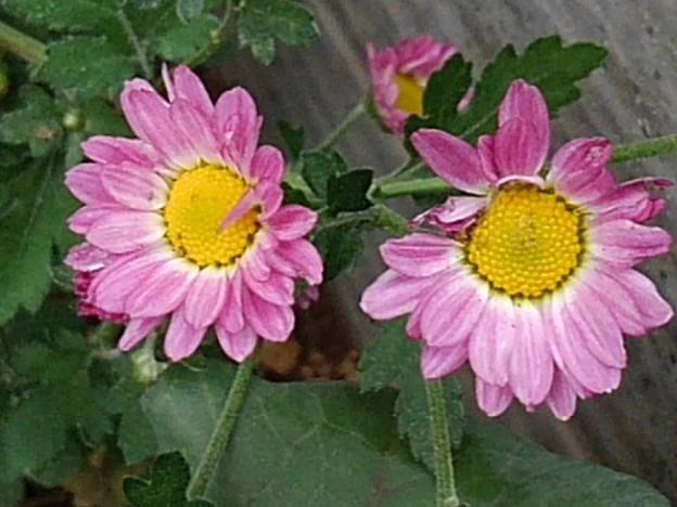 庭の赤紫の菊(10月19日)