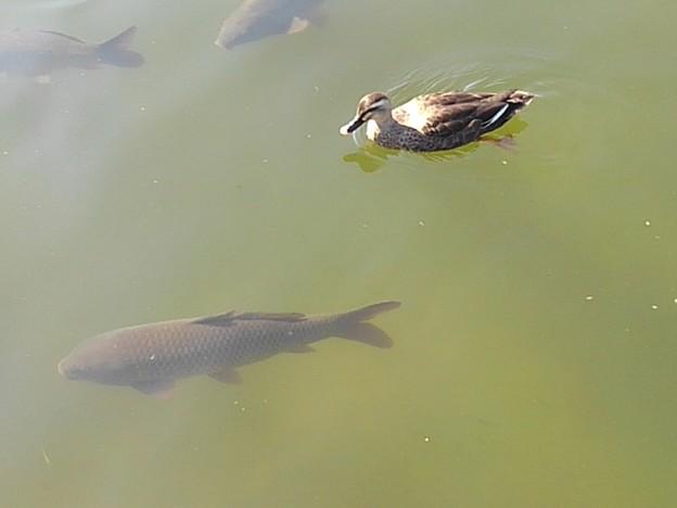 烏ヶ森公園の池のカモとコイ(10月3日)