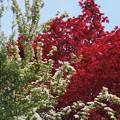 春紅葉ー赤さー