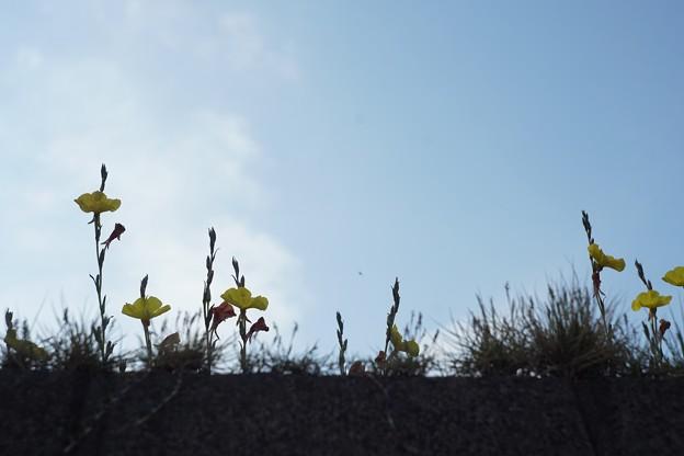 空き地に咲いたー青空が似合うー