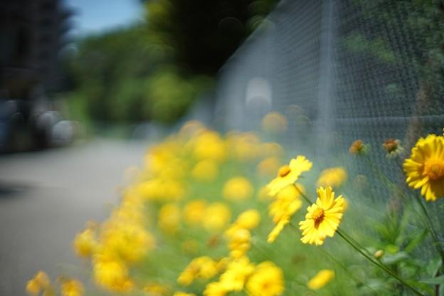 黄色いお花ー道に咲くー