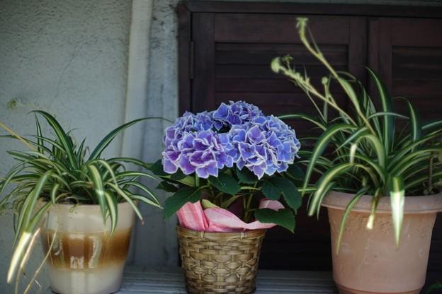 紫陽花ー街を彩るー
