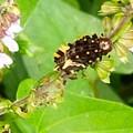 Photos: Iジャコウアゲハの幼虫