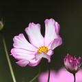 Photos: 咲きました