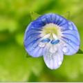 かわいい青い花