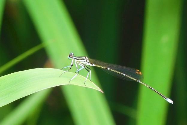 Photos: 糸蜻蛉