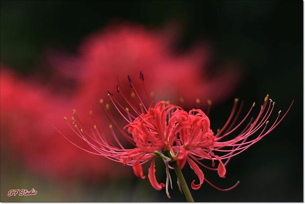 Photos: 赤い花なら曼珠沙華