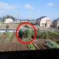 トマト支柱撤去-01