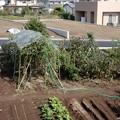 トマト支柱撤去-02