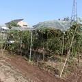 トマト支柱撤去-03