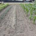 小豆の収穫-01