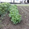 小豆の収穫-02