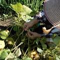 小豆の収穫-04