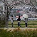桜並木を歩く人