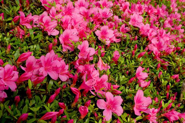 サツキ 赤く咲くのは誰のため
