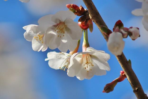 Sakura~♪