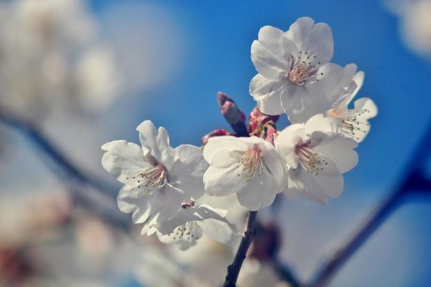 Sakura~♪ 2