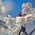 Photos: Sakura~♪ 2